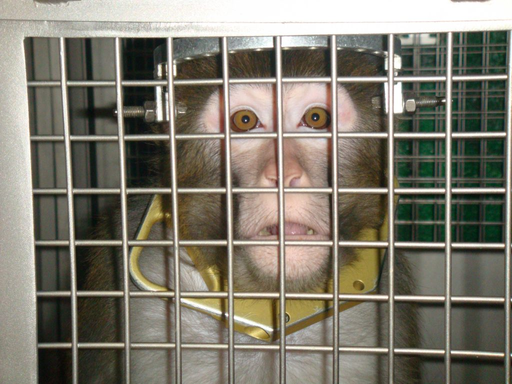 A monkey named Frik, pictured here at the University of Utah, had holes drilled into his head and screws cemented in his skull.
