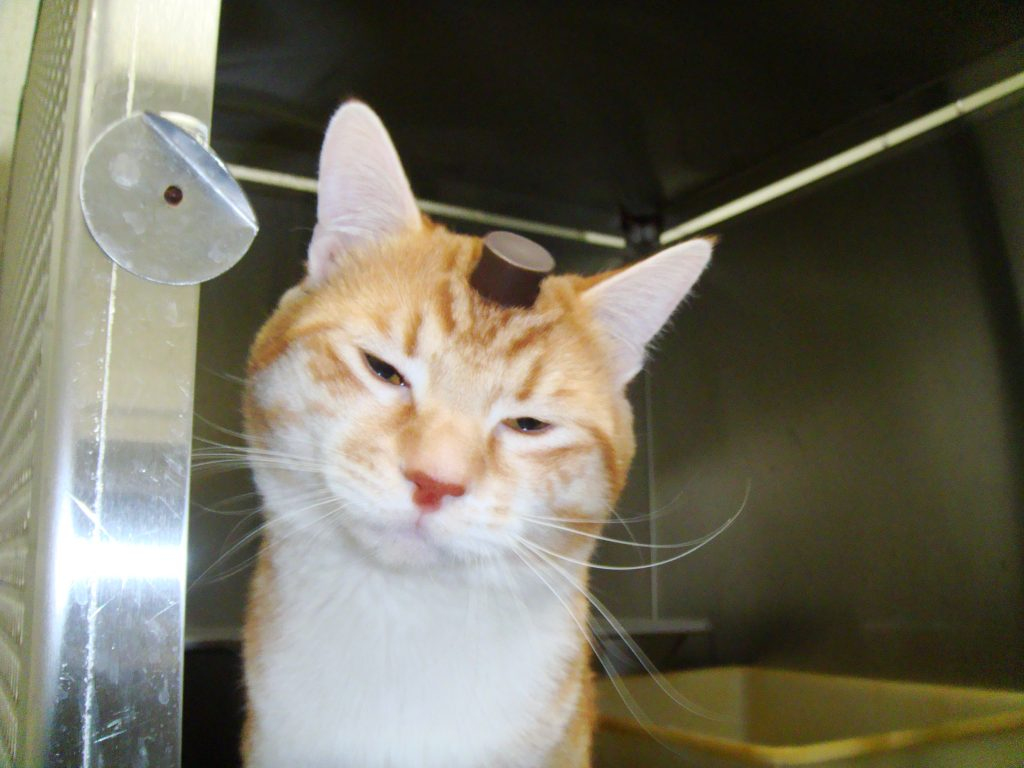 Robert, a cat at the University of Utah laboratory