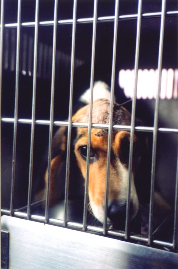Because of their docile temperament, beagles are the most frequent breed of dog found in laboratories.
