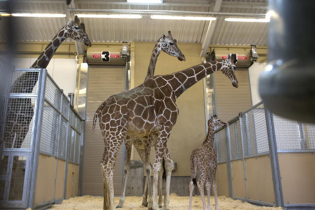 Giraffes at Hogle Zoo are confined to a warehouse-like building during Utah's cold winter months.