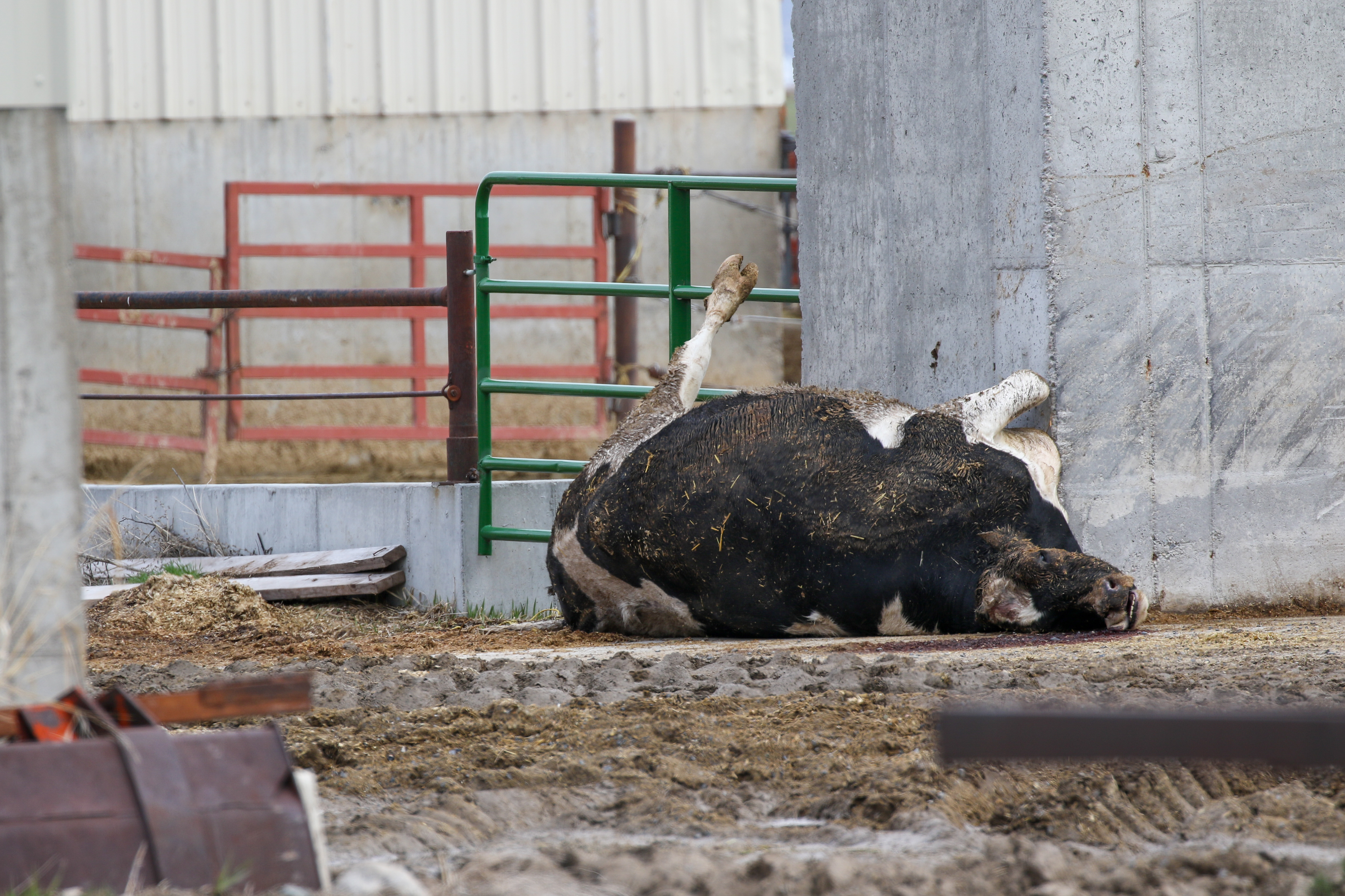 dead dairy cow