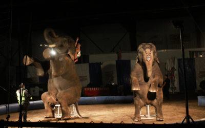 UARC Investigator Documents Animal Suffering at Jordan World Circus