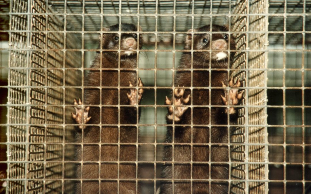 Open Letter to Dr. Angela Dunn Regarding COVID-19 on Utah Mink Farms